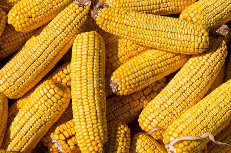 Kukurydzani cobs Kukurydzy ziarno obrazy royalty free