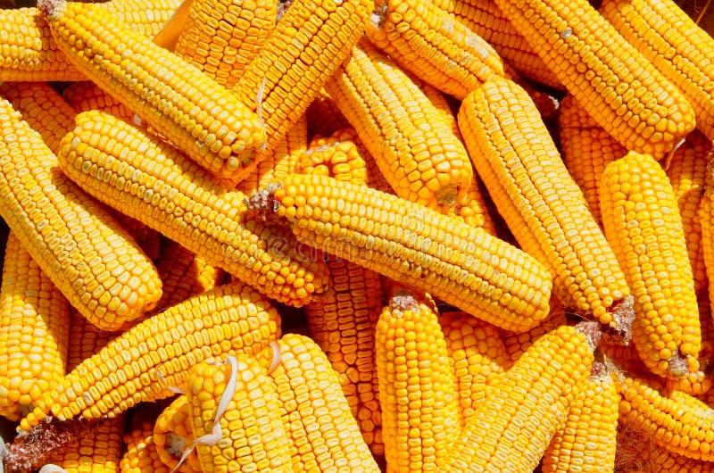 Kukurydzani cobs Kukurydzy ziarno obrazy stock