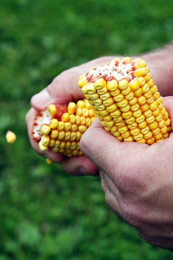 Kukurydzani cobs w ręce rolnik obrazy royalty free