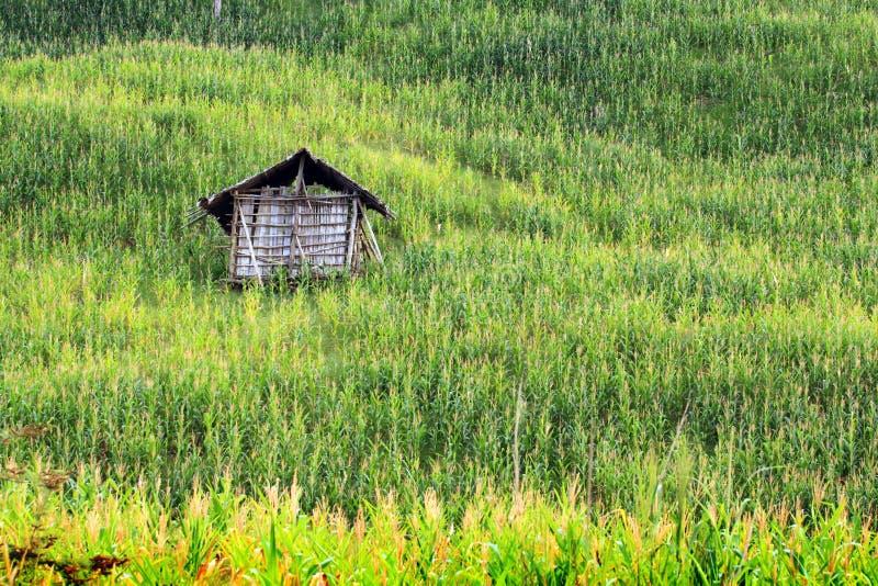 Kukurydzani pola zdjęcie royalty free
