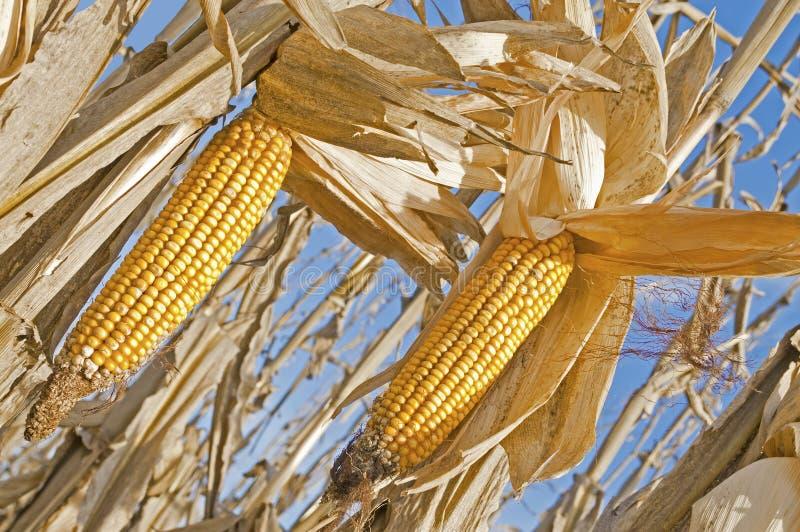 kukurydzani ucho obrazy stock