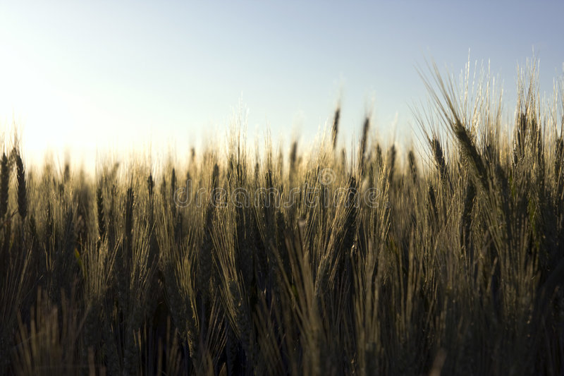 kukurydzani ucho obraz royalty free