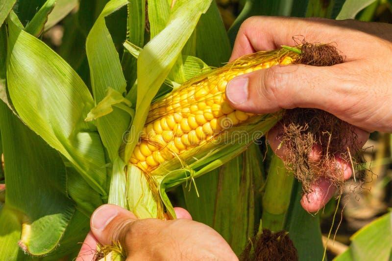 Kukurydzany cob w rolnik rękach podczas gdy pracujący na rolniczym polu zdjęcie stock