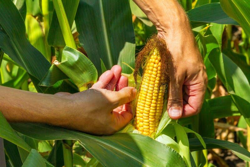 Kukurydzany cob w rolnik rękach podczas gdy pracujący na rolniczym polu zdjęcia royalty free