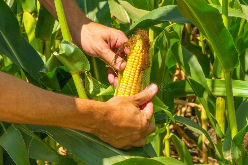 Kukurydzany cob w rolnik rękach podczas gdy pracujący na rolniczym polu obrazy royalty free