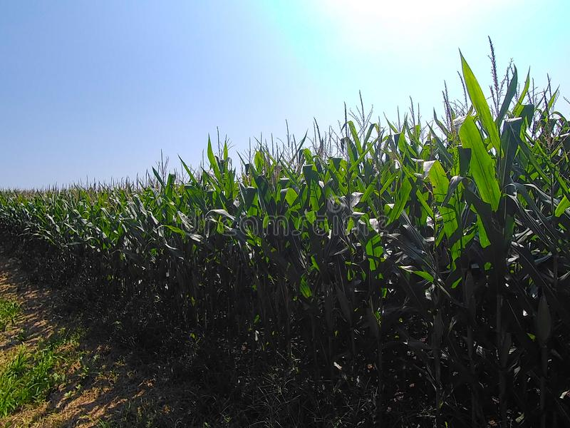 Kukurydzany czekanie być żniwem obrazy stock