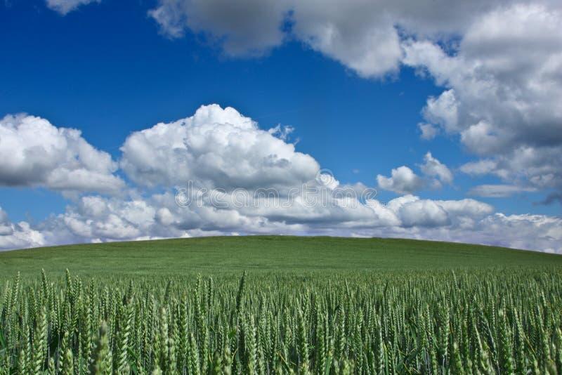 Kukurydzany fleld fotografia stock