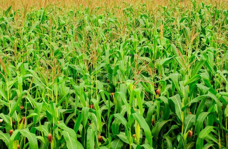 Kukurydzany Gospodarstwo Rolne Obrazy Stock