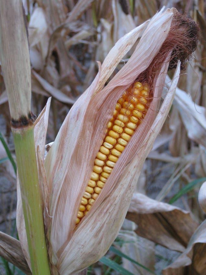 kukurydzany Indiana zdjęcie stock