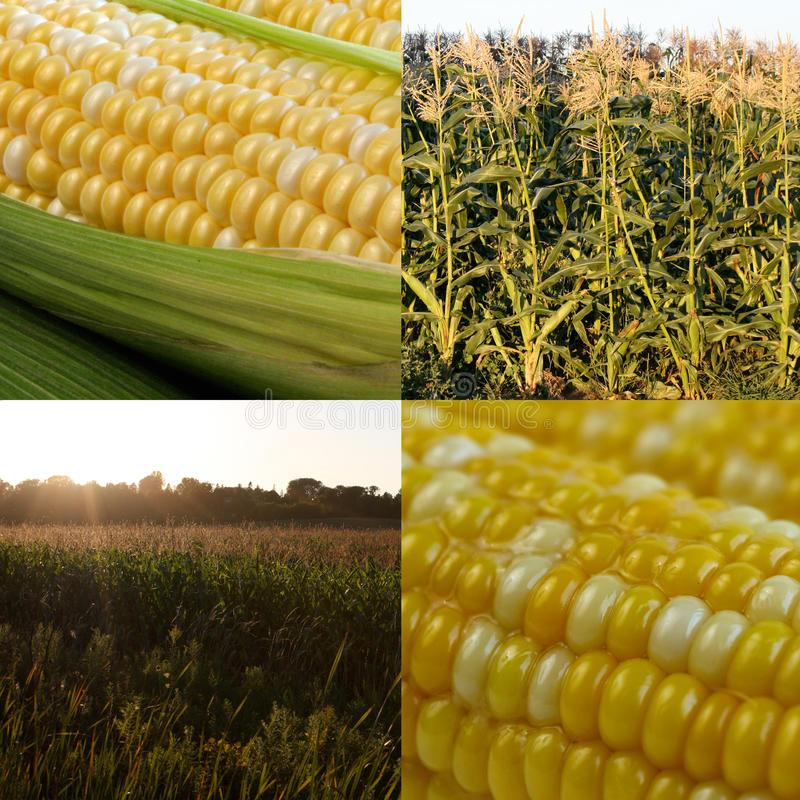 Kukurydzany kolaż zdjęcie royalty free