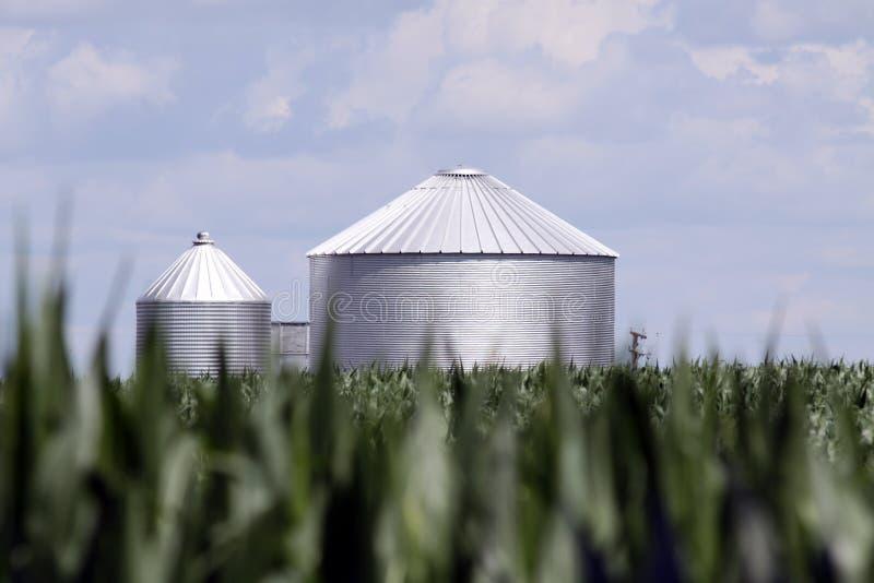 kukurydzany królewiątko obraz stock