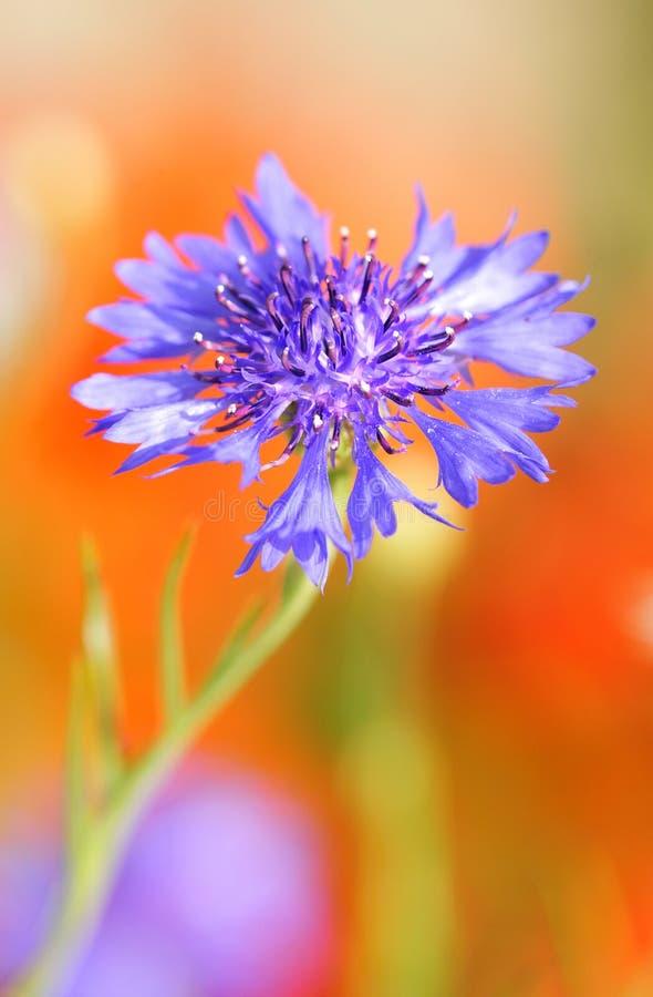 kukurydzany kwiat obrazy stock