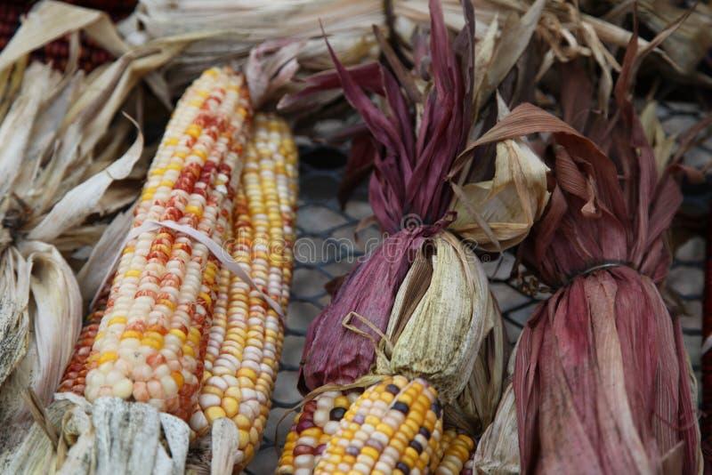 kukurydzany labirynt pstrokacił zdjęcie royalty free
