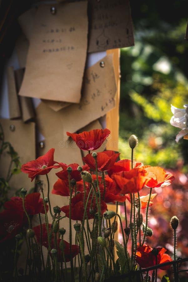 Kukurydzany maczek w pełnym kwiacie pod nutową deską ilustracji
