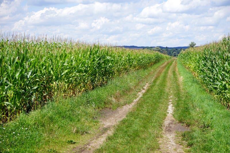 Kukurydzany pole i ślad fotografia stock