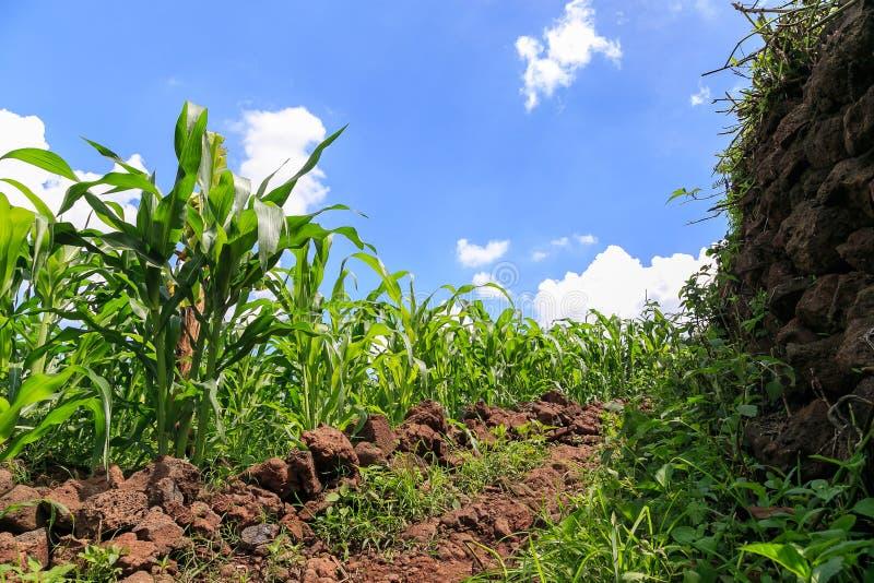Kukurydzany pole na skalistym średniogórzu w Wietnam zdjęcia royalty free
