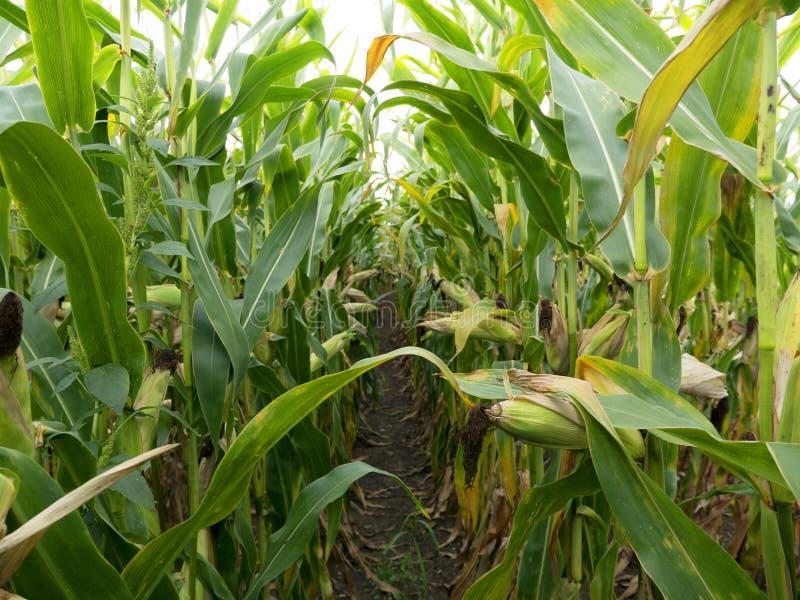 Kukurydzany pole przed żniw Dojrzałymi kukurydzanymi cobs w rzędzie behind Szczegółu widok zanurzający między kukurudzą zdjęcia stock
