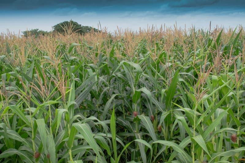 Kukurydzany pollen i niebo zdjęcie royalty free