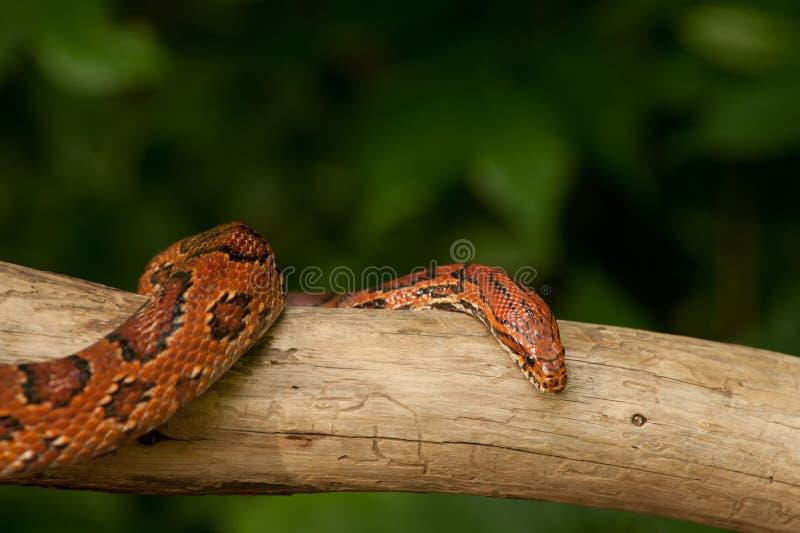 kukurydzany pomarańczowy wąż zdjęcie stock