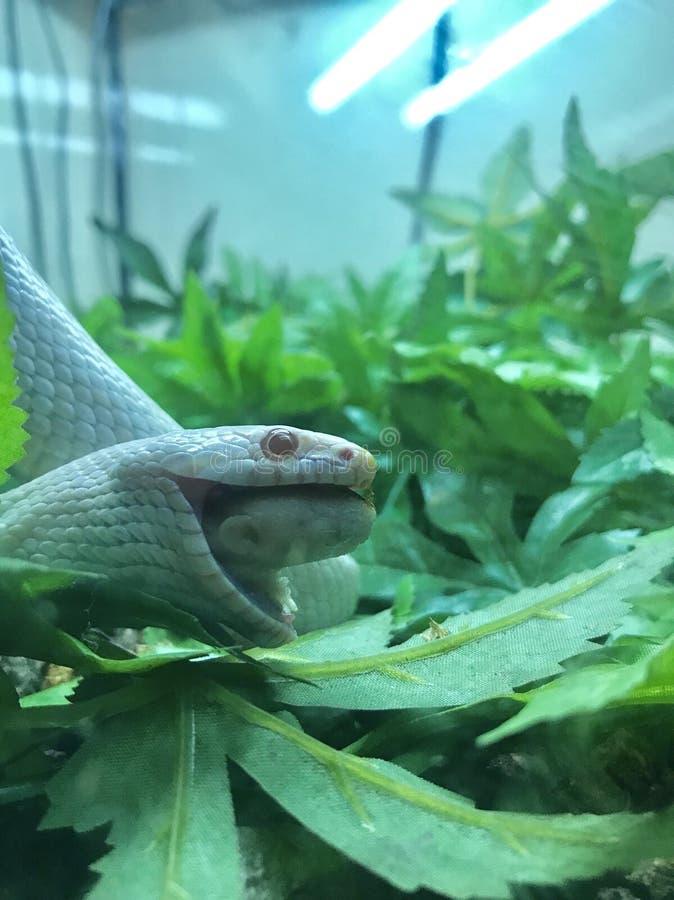 Kukurydzany wąż zdjęcia royalty free