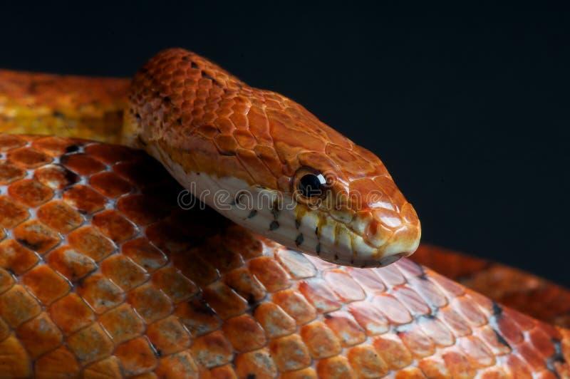 kukurydzany wąż zdjęcie royalty free