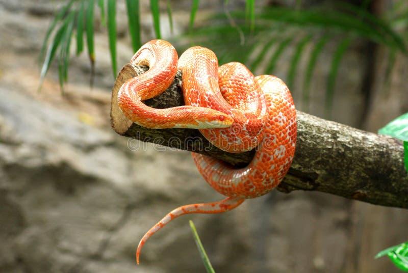 Kukurydzany wąż zdjęcia stock