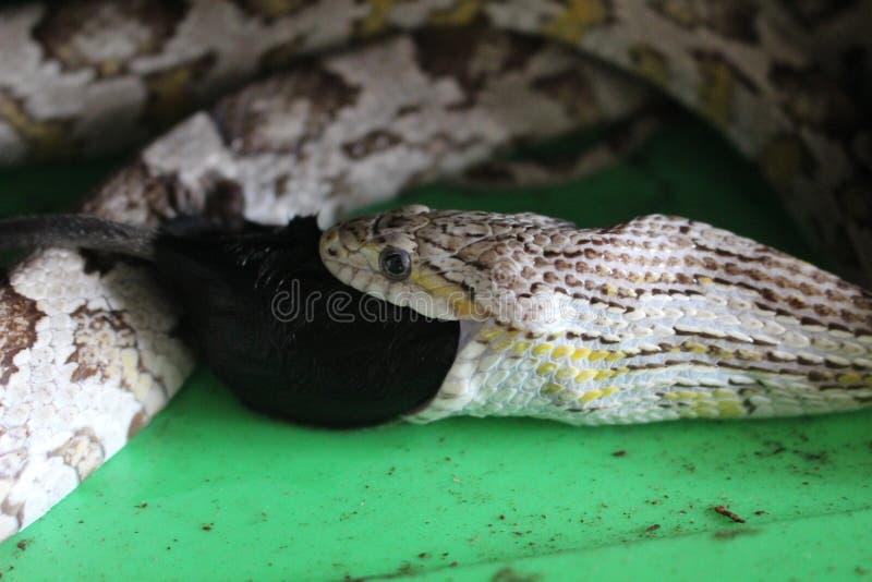 Kukurydzany wąż swalloing wielkiej myszy pokazuje ekspansi ono ` s szczękę i waży zdjęcia stock