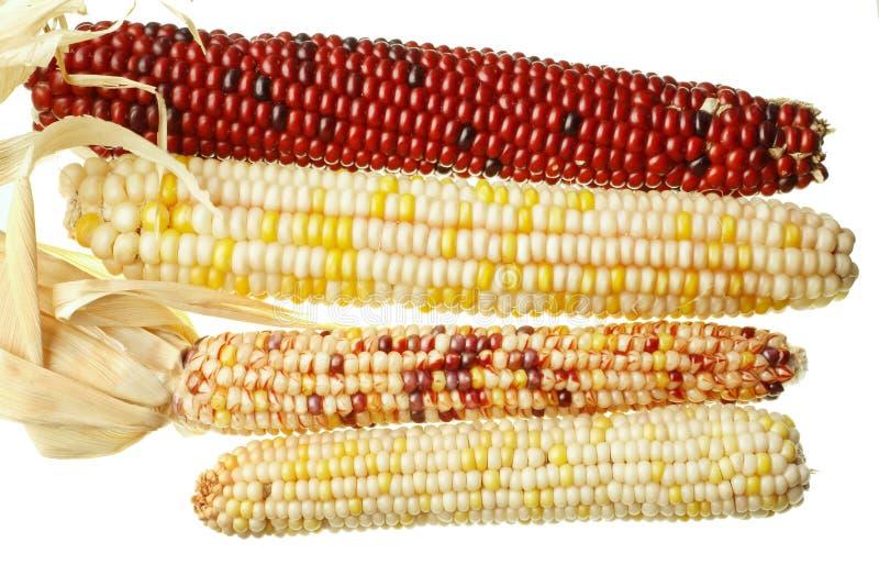 kukurydziany kolby hindusów odizolowane zdjęcie royalty free