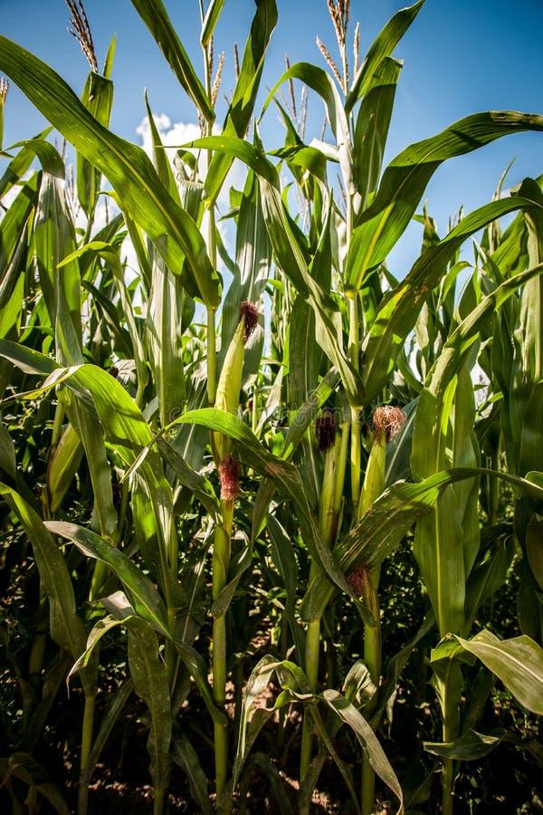 Kukurydzy lub kukurudzy dojrzenie na roślinie obrazy royalty free