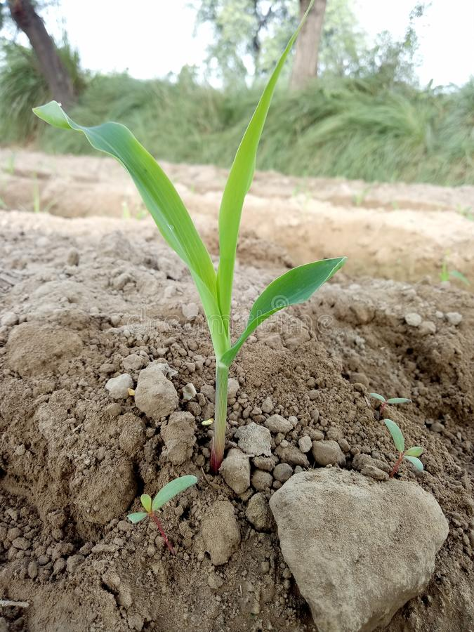 Kukurydzy rośliny przyrosta scena & x28; Rozsada Emergance stage& x29; obraz royalty free