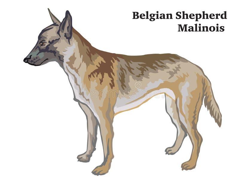 Kulör dekorativ stående stående av den belgiska illustrationen för herdeMalinois vektor vektor illustrationer