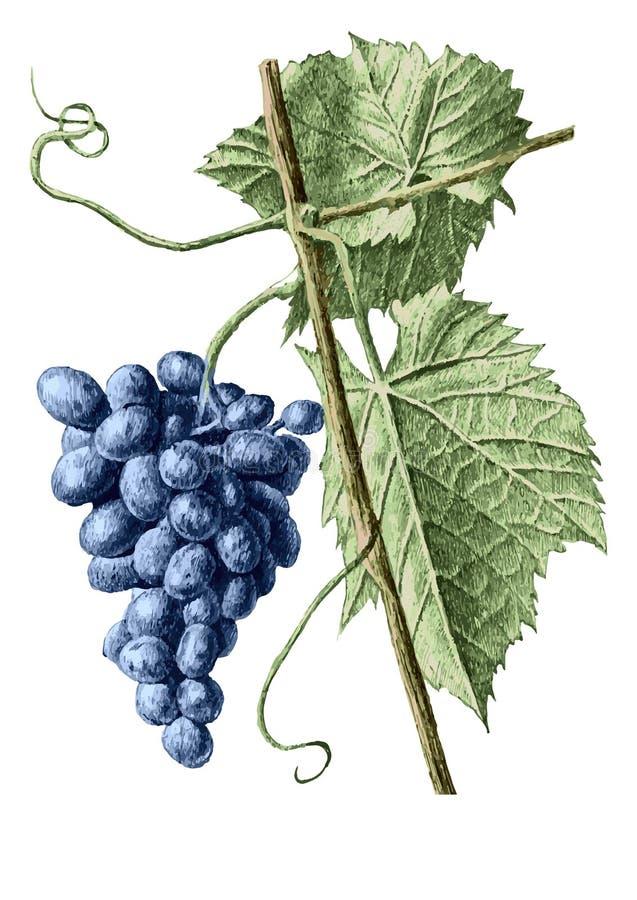 Kulör illustration med druvor och sidor stock illustrationer