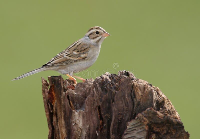 kulör sparrow för lera fotografering för bildbyråer