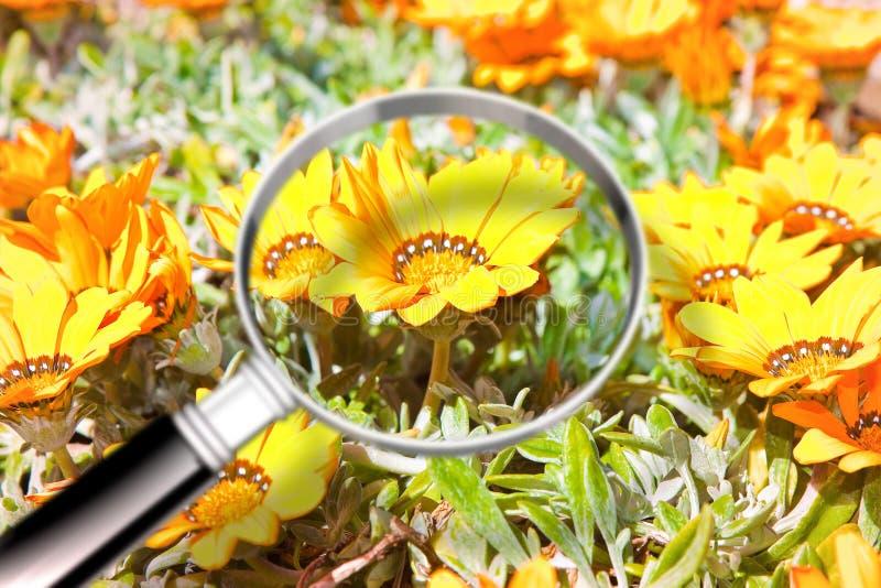 Kulöra blommor med förstoringsglaset på förgrund - forska nollan arkivbilder