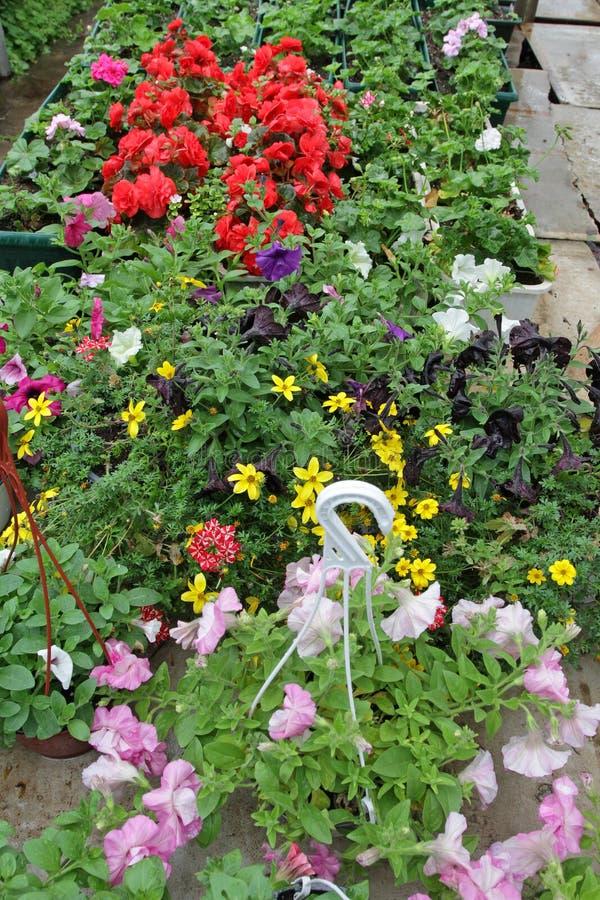 Kulört petuniafält med hängande krukor Stimoryne Fält av lilor, rosa färger, vit, grön petunior och till salu Hängande krukor med royaltyfria bilder