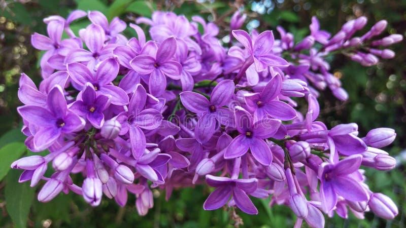 Kul?r lila Panicle f?r lila makro royaltyfri foto