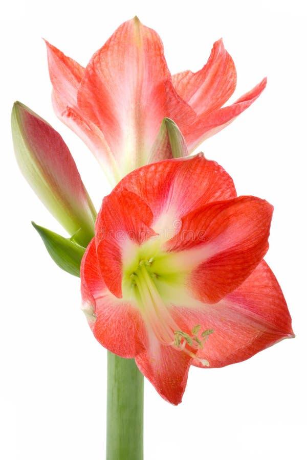 kulablomman blommar hippeastrum royaltyfri bild