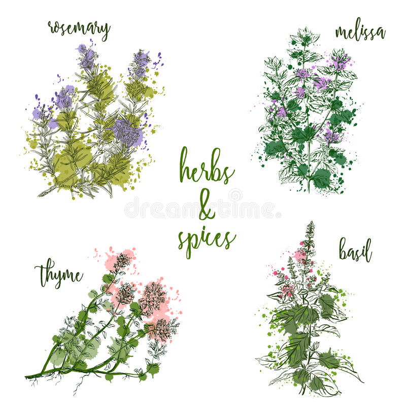 Kulinarni ziele i pikantność w akwarela stylu Rozmaryny, melissa, basil, macierzanka ilustracji