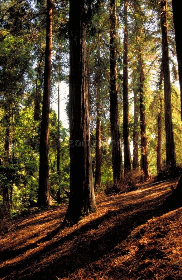kullredwoodträd fotografering för bildbyråer