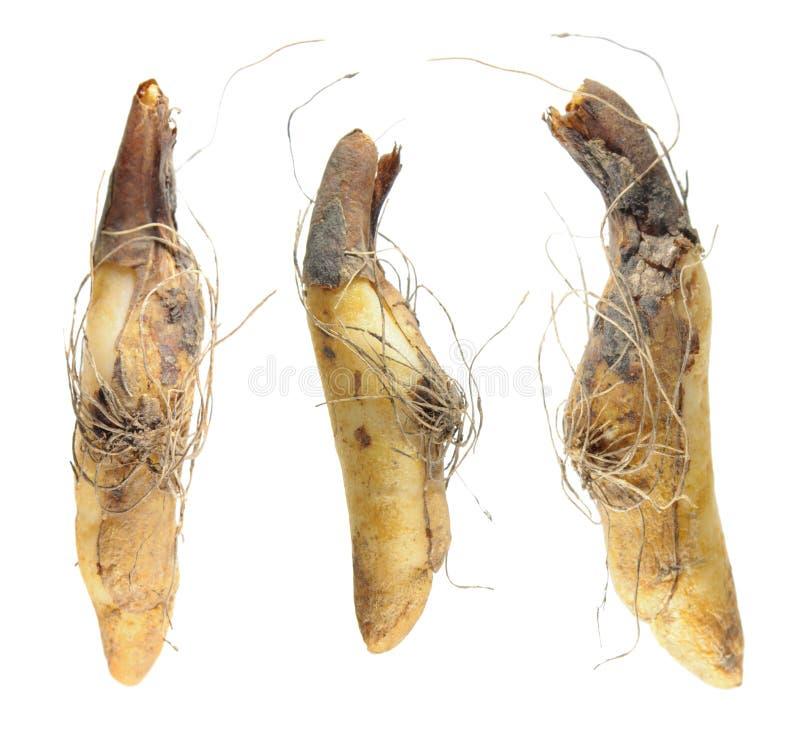 Kulor av Kalifornien lismar liljan eller den Kalifornien forell-liljan eller Erythroniumcalifornicum som isoleras på vit royaltyfria foton