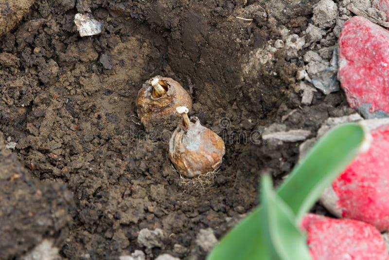 Kulor av tulpan i jordningen arkivfoton