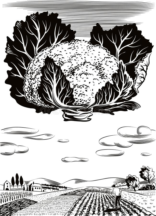 Kultiverat jordbruks- landskap, med blomkålen royaltyfri illustrationer