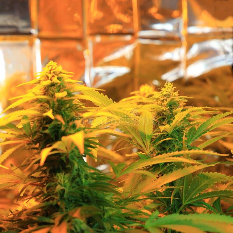 Kultur av cannabisinflorescencen i en kulturask arkivbilder