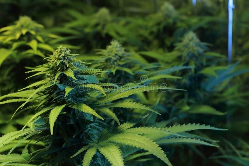 Kultur av cannabisinflorescencen i en kulturask fotografering för bildbyråer