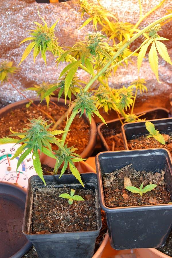 Kultur av den cannabisblommor och plantan i en ask royaltyfria foton