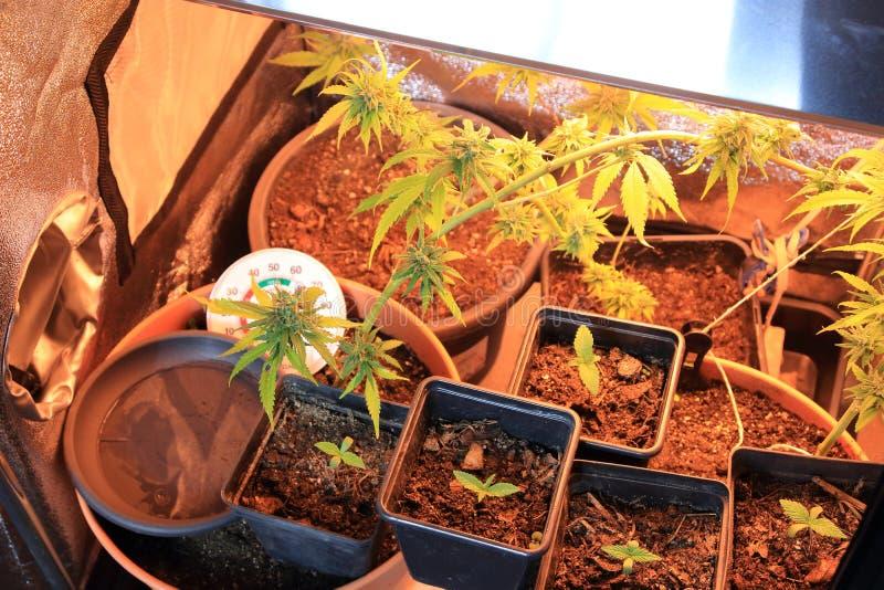 Kultur av den cannabisblommor och plantan i en ask royaltyfri fotografi