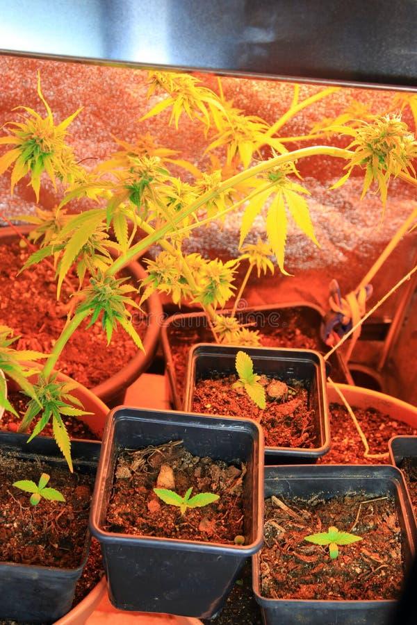 Kultur av den cannabisblommor och plantan i en ask arkivbild