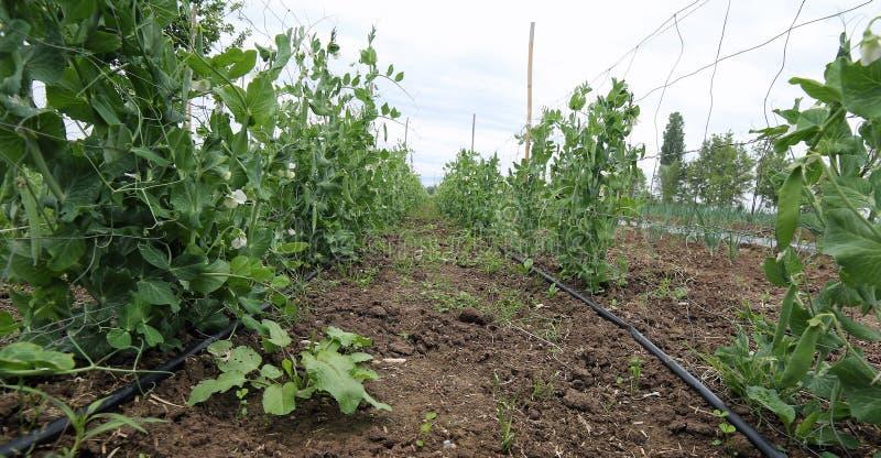 Kultywacja pomidorowe i grochowe rośliny w wsi zdjęcie stock