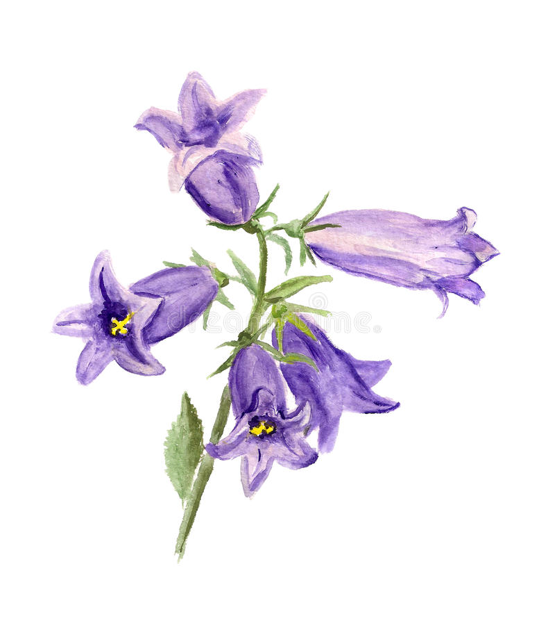 Kultywujący bluebell ilustracji