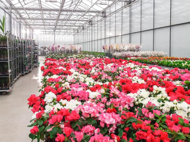 Kultywujący ornamentacyjny kwiatu dorośnięcie w handlowej plactic folii zakrywał horticulture szklarnię fotografia royalty free